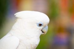 Vit papegoja Royaltyfri Fotografi