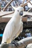 Vit papegoja Arkivfoton