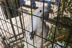 Vit papegoja i fångenskap Arkivbild
