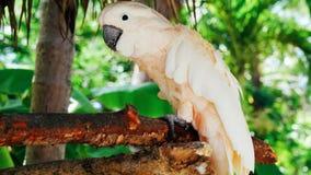 Vit papegoja, munkhättor 2018 för kakaduafågel//härliga vita papegoja arkivfoto