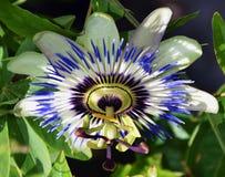 Vit passiflora Arkivbilder