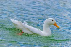 Vit Pekin andsimning i en sjö royaltyfria foton