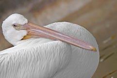Vit pelikan Arkivfoto