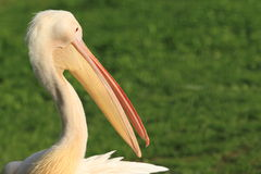 Vit pelikan Arkivbilder