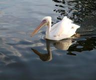 Vit pelikan med reflexion i den blåa sjön. Arkivbild