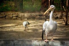 Vit pelikan också som är bekant som den östliga vita pelikan Royaltyfri Fotografi