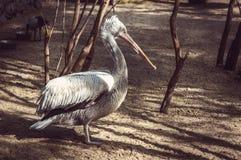 Vit pelikan också som är bekant som den östliga vita pelikan Royaltyfria Bilder