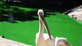 Vit pelikan på ett damm på ett slut för sommardag upp arkivfilmer