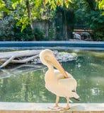 Vit pelikan på zooträdgården, vatten, slut upp Arkivbild