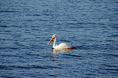 Vit pelikan (Pelecanuserythrorhynchos) Royaltyfria Bilder
