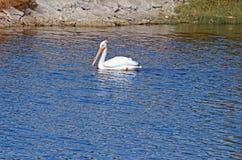 Vit pelikan (Pelecanuserythrorhynchos) Royaltyfri Bild