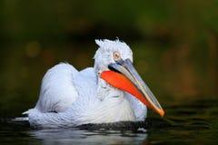 Vit pelikan, Pelecanuserythrorhynchos, fågel i det mörka vattnet, naturlivsmiljö, Bulgarien Arkivbilder