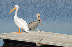 Vit pelikan (Pelecanuserythrorhynchos) och brun pelikan (Pel Arkivfoton