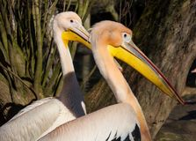 Vit pelikan, Pelecanusonocrotalus Arkivfoto