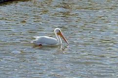 Vit pelikan (Pelecarnus erythrothynchos) Arkivfoton