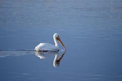 Vit pelikan (Pelecarnus erythrothynchos) Arkivbild