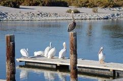 Vit pelikan (Pelecarnus erythrothynchos) och bruna pelikan (P Royaltyfri Bild