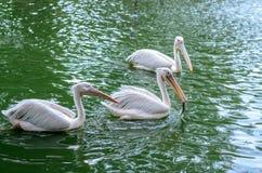 Vit pelikan som äter en fisk Arkivfoto