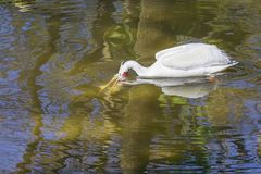 Vit pelikan Spearfishing med Bill Under Water arkivfoto