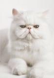 Vit persisk katt Arkivbilder
