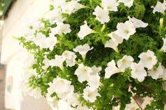 Vit petuniablommabuske i en kruka utanför ett vitt hus i Puglia, Italien Royaltyfria Bilder