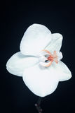 Vit Phalaenopsisorkidé Arkivfoto