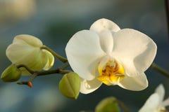 Vit Phalaenopsisorkidé Arkivbild