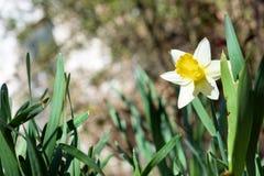 Vit pingstlilja i trädgård Pingstliljapoeticus Royaltyfria Bilder