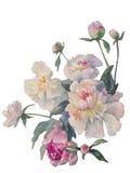 Vit pionklungavattenfärg Royaltyfri Bild