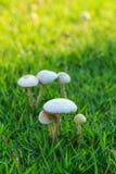 Vit plocka svamp på gräsmattan Arkivbilder