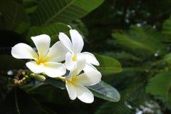 Vit Plumeria Royaltyfria Bilder
