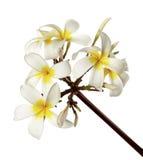 Vit Plumeria blommar frangipanien, den doftande vita blomman som blommar på filialen som isoleras på vit bakgrund Fotografering för Bildbyråer