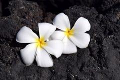 Vit plumeria blommar på svart lava vaggar Fotografering för Bildbyråer