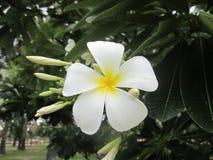 Vit Plumeria blommar på trädet Arkivfoton