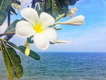 Vit plumeria eller vit frangipani royaltyfria bilder