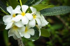 Vit plumeria, frangipaniblommor Arkivbild