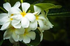 Vit plumeria, frangipaniblommor Royaltyfri Bild