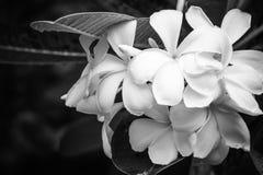 Vit plumeria, frangipaniblommor Royaltyfria Bilder