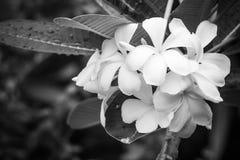 Vit plumeria, frangipaniblommor Arkivbilder
