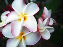 Vit plumeria, härliga thailändska blommor Arkivfoton
