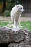 Vit polar varg i zoo av Berlin Arkivbild