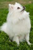 Vit Pomeranian hund Arkivbild