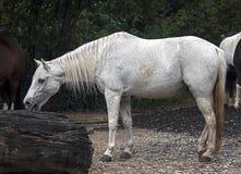 Vit ponny Royaltyfri Bild