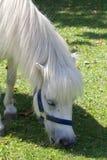 Vit ponny 015 Royaltyfri Bild