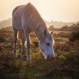 Vit ponny för ny skog som matar på dimmig morgonsoluppgång Royaltyfri Foto