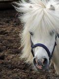 Vit ponny med man Royaltyfri Fotografi