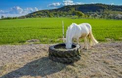 Vit ponny som äter hö Arkivfoton
