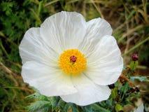 Vit pricklypoppy Argemonealbifloravildblomma royaltyfria foton