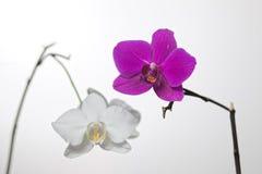 Vit purpurfärgad orkidé Royaltyfri Bild