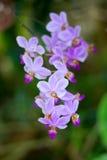 Vit purpurfärgad orkidé arkivbild